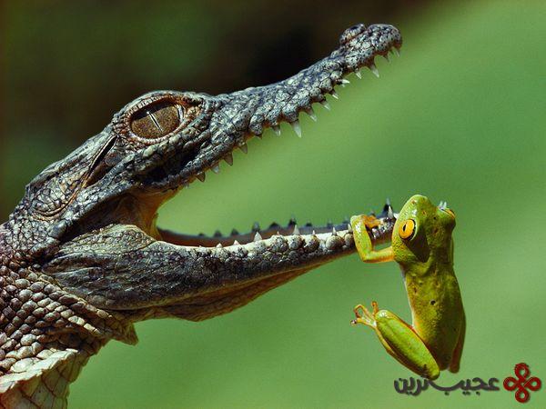 تمساح-نیل-خطر-یک