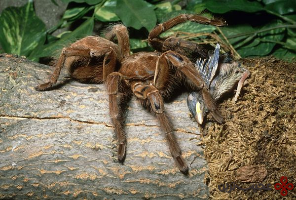 عنکبوت-جالوت-یک