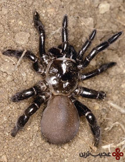 عنکبوت-سیاه