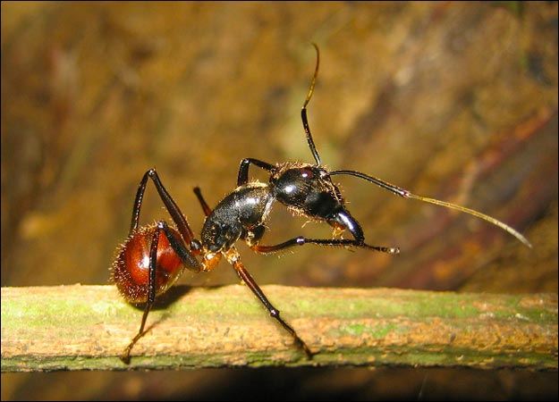 عکس-کاور-مورچه-مالزیایی