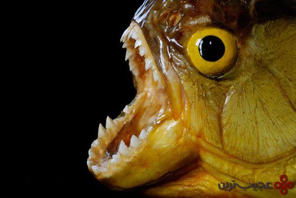 ماهی-پیرانا-یک