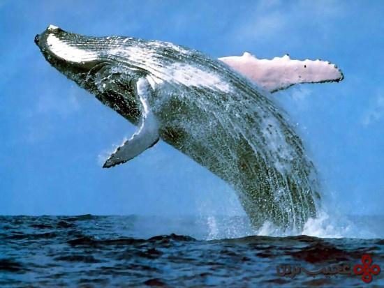 نهنگ-کوهاندار