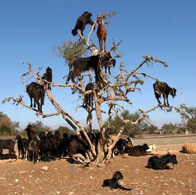 عکس کاور بزهای درختی (1)