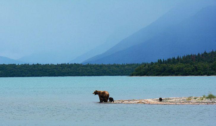 grizzly mama bear with spring cubs naknek lake katmai national park alaska