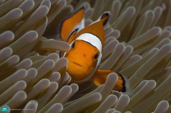 cover clownfish